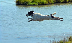 English springer spaniel jumping into the water